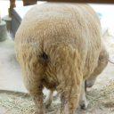 羊 フリー素材ドットコム